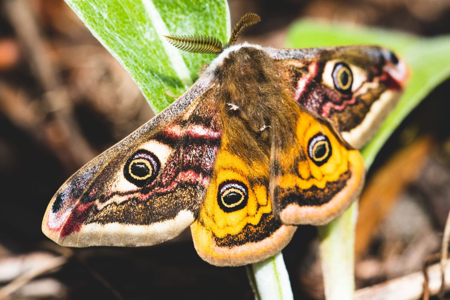 Emperor moth with wings spread